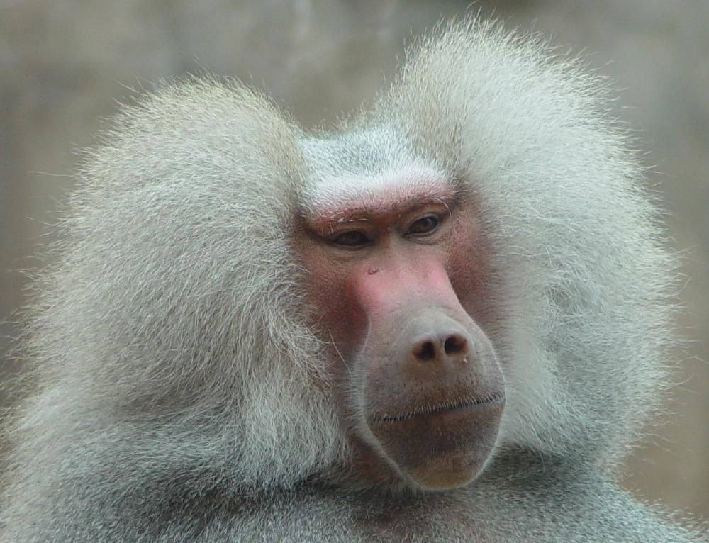photograph of  baby baboon