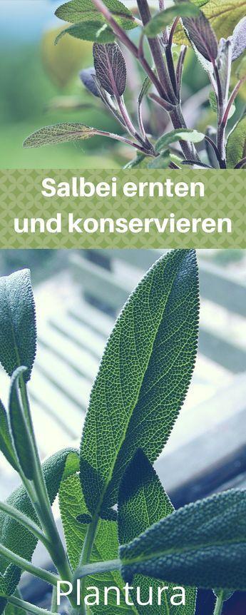 Salbei ernten: Alles über das Trocknen, Einfrieren und Konservieren - Plantura #cactusplant
