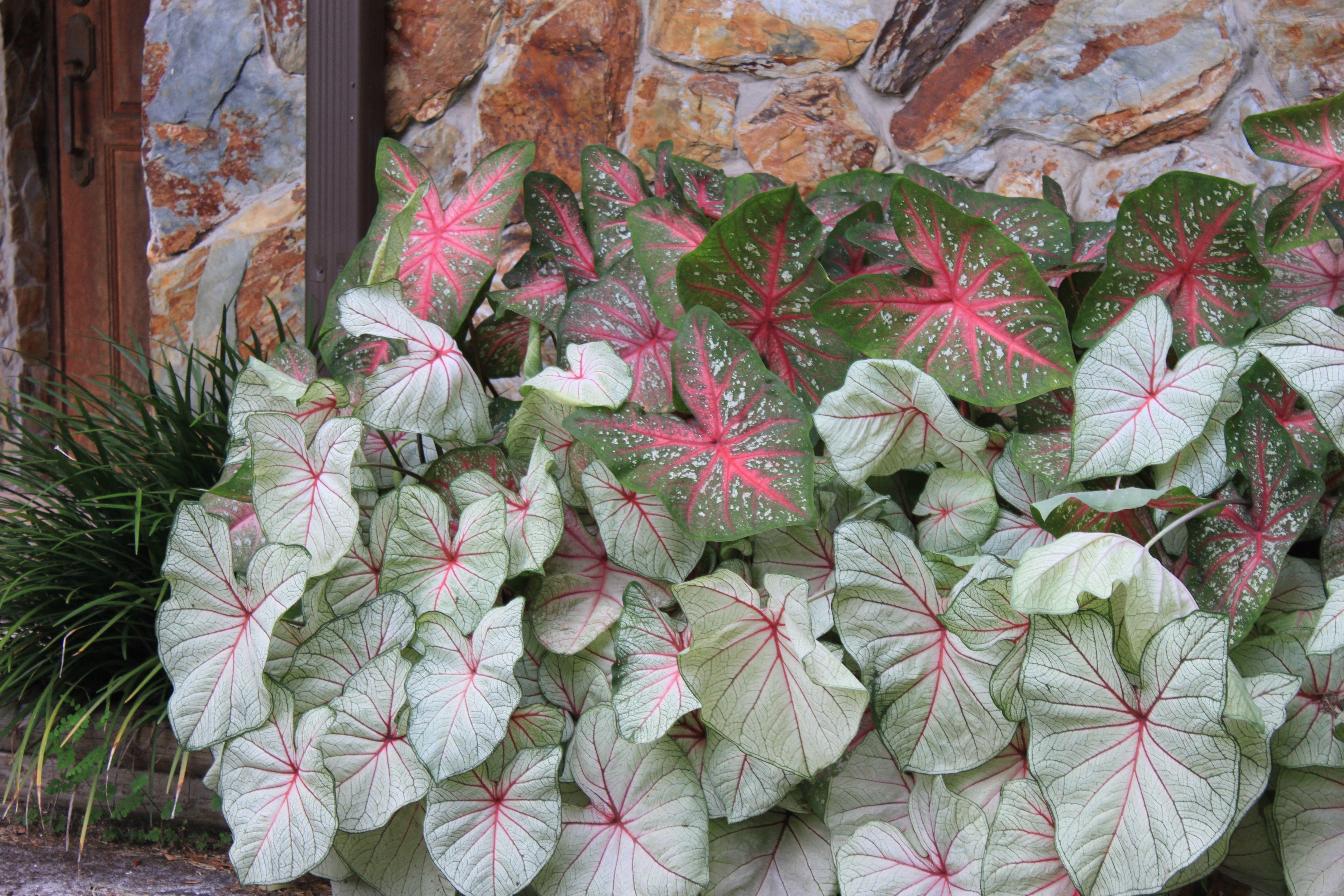 "caladiums varieties of ""arno"