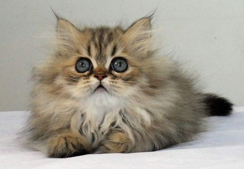 Persian Kittens For Free Cute Cats Pictures Persische Katzchen Persische Katze Ingwer Katzen
