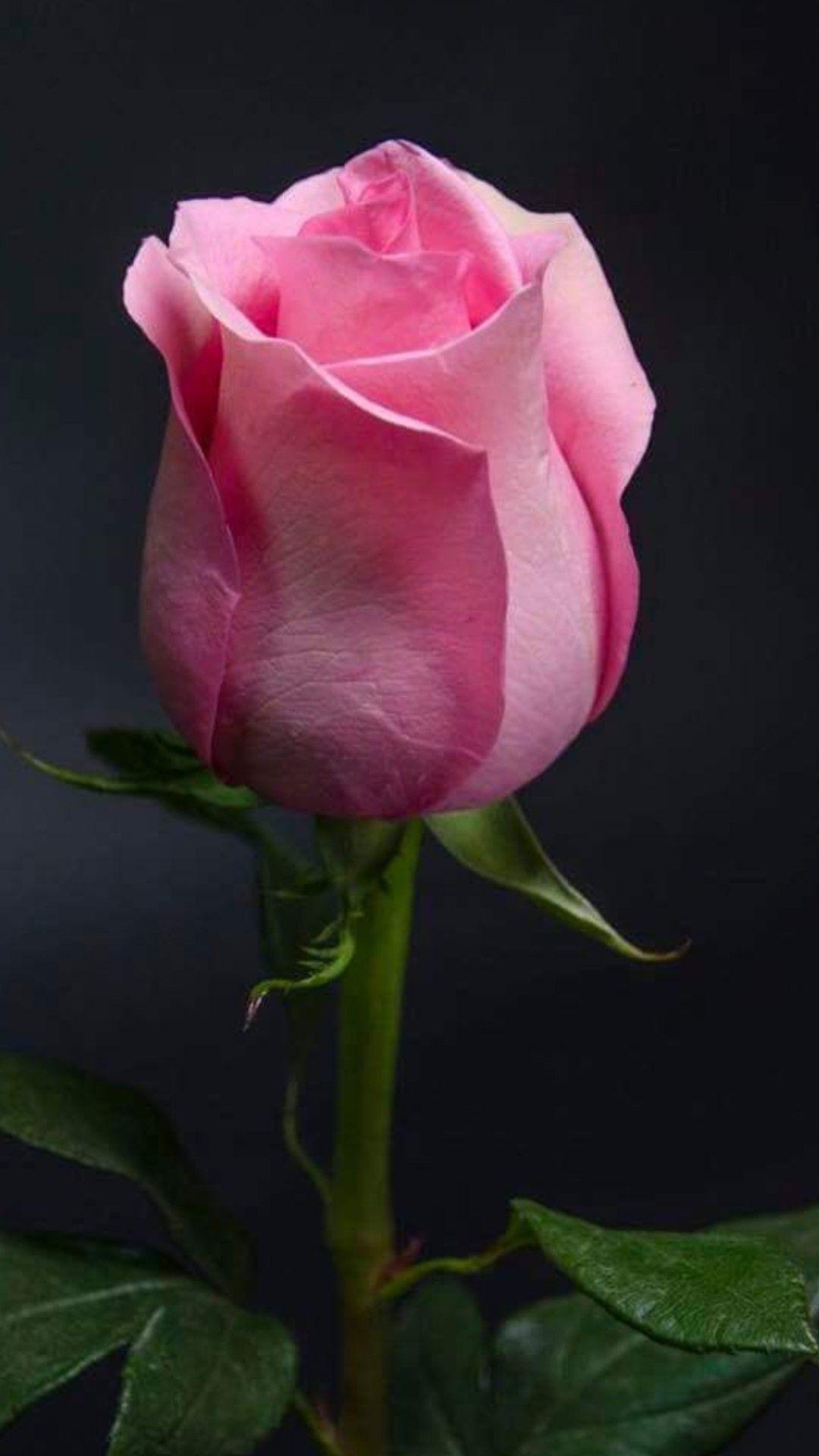 Mooie Valentijn roos