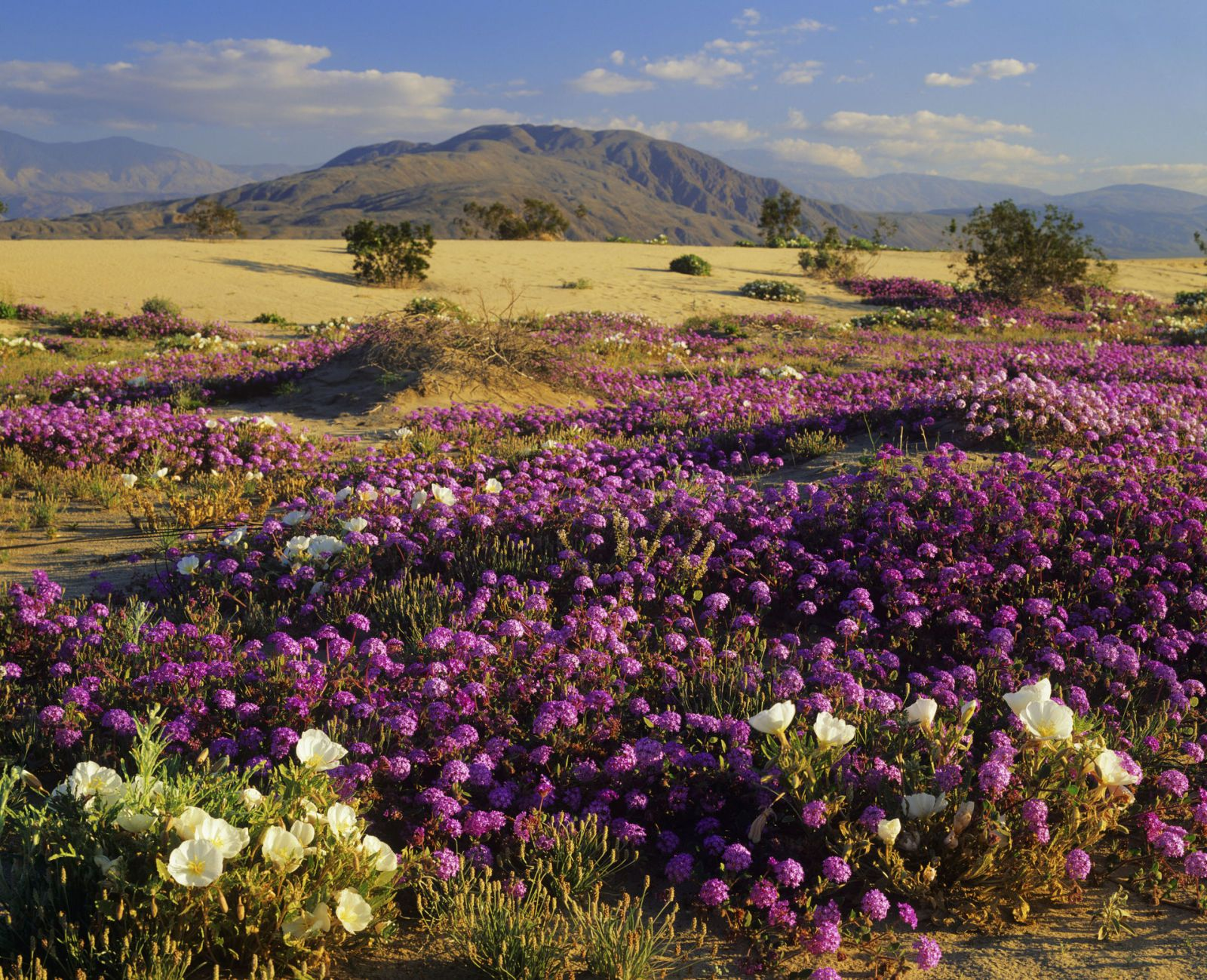 This california desert is exploding with wildflowers wildflowers borrego springs this california desert is exploding with wildflowers mightylinksfo Images