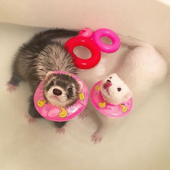 How To Bathe A Ferret In 2020 Cute Ferrets Baby Ferrets Pet Ferret