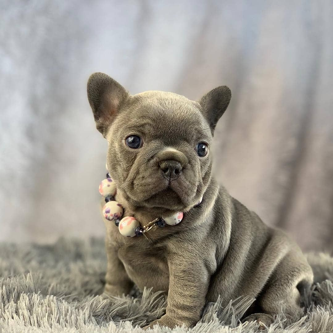 Adorable And Affordable Akc French Bulldog Puppies For Sale 910