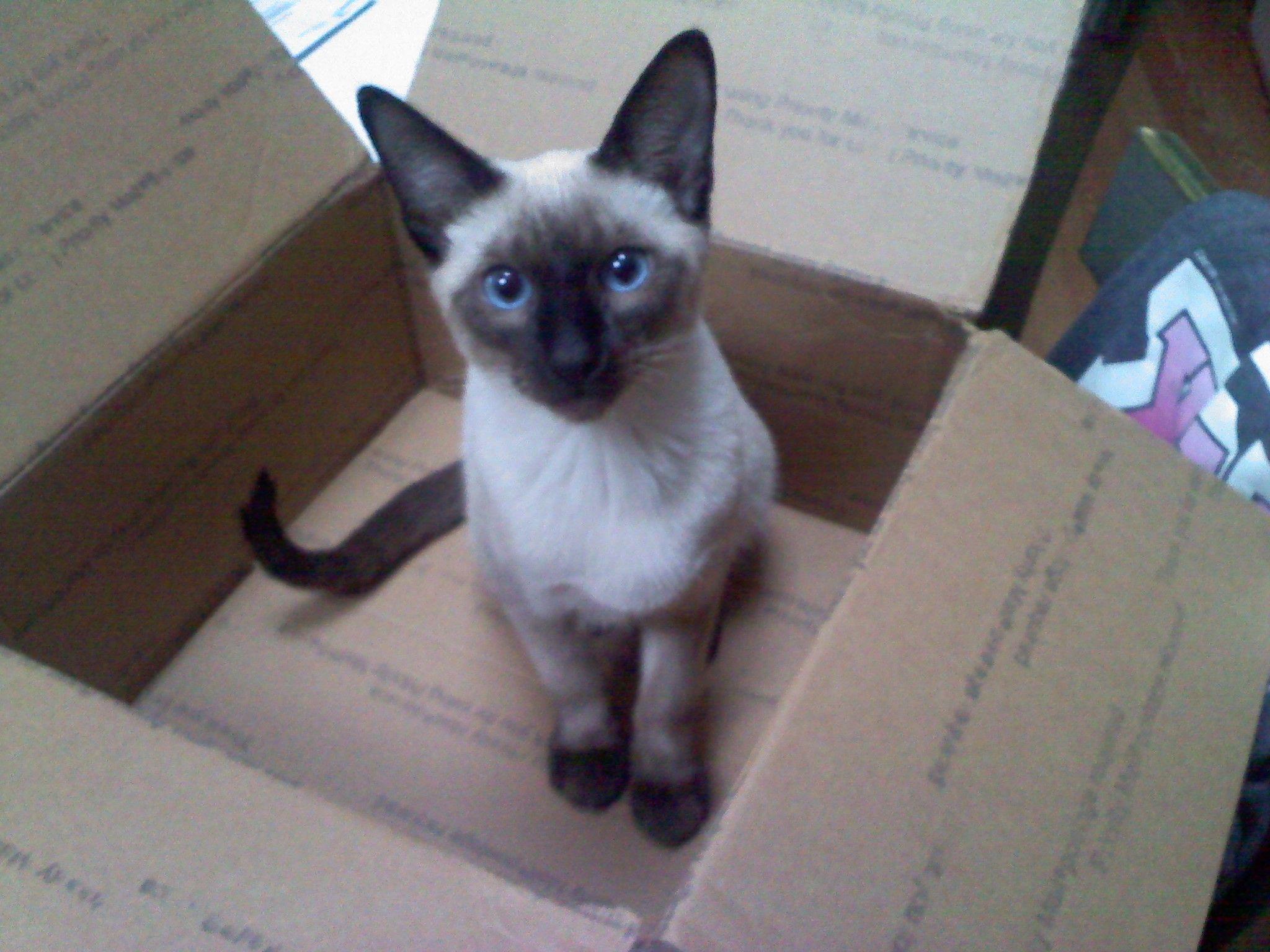my siamese baby ) Siamese Cats LOVE Siamese cats