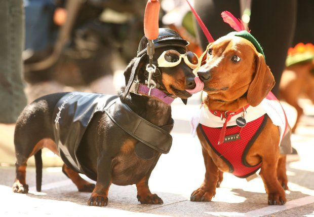 MELBOURNE, AUSTRALIA - SEPTEMBER 19: Chilli dressed as a biker dog licks Bangers (R) as they compete in the Hophaus Southgate Inaugural Best Dressed Dachshund competition on September 19, 2015 in Melbourne, Australia. 30 mini dachshunds, 6 standard dachshunds and 18 dachshund puppies all competed for first place and for Best Dressed Dachshund during the annual Oktoberfest celebration. (Photo by Scott Barbour/Getty Images)
