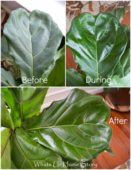 How to Take Care of Your Fiddle Leaf Fig TreeThe biggest problem with these is the dust that settles on the large leaves. You can use any of the following to clean and make your plants' leaves shine; - A solution of half milk and half water - Inside of Banana peels - Few drops Olive oil - Organic Mayo - Coconut Oil (My method) I usually clean my indoor plants with a damp towel but this time around I used a few drops of Coconut oil on a soft Cotton kitchen towel instead of water.