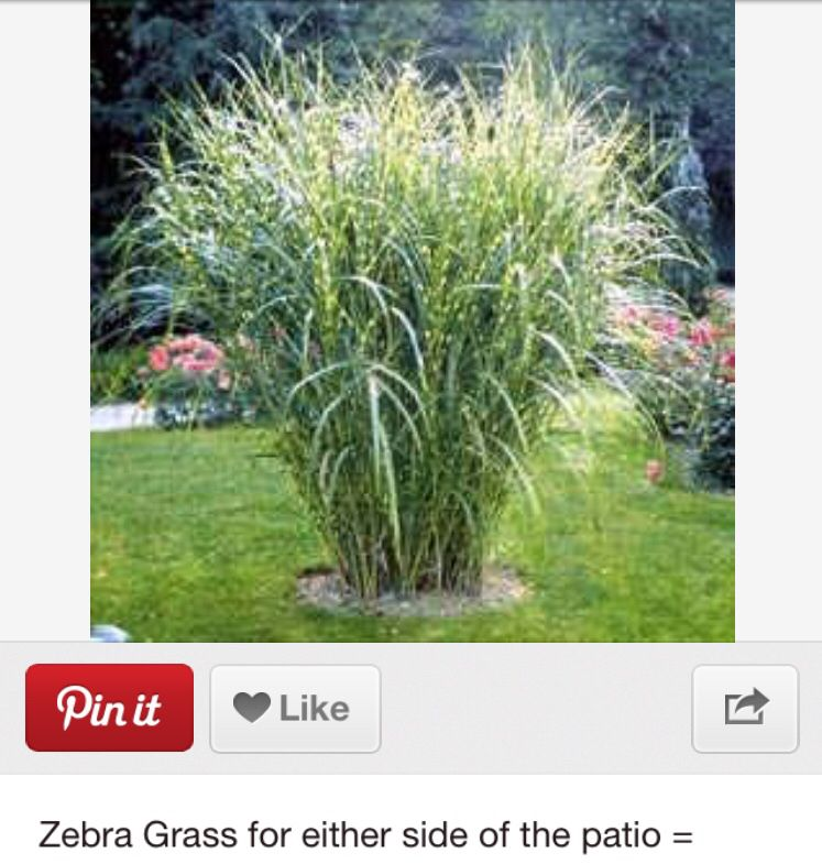 Zebra grass outdoor pinterest grasses gardens and yards for Landscaping with zebra grass
