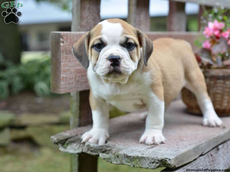 Beagle Bulldog Mix Puppies Photo Puppies Hybrid Dogs Puppy Photos
