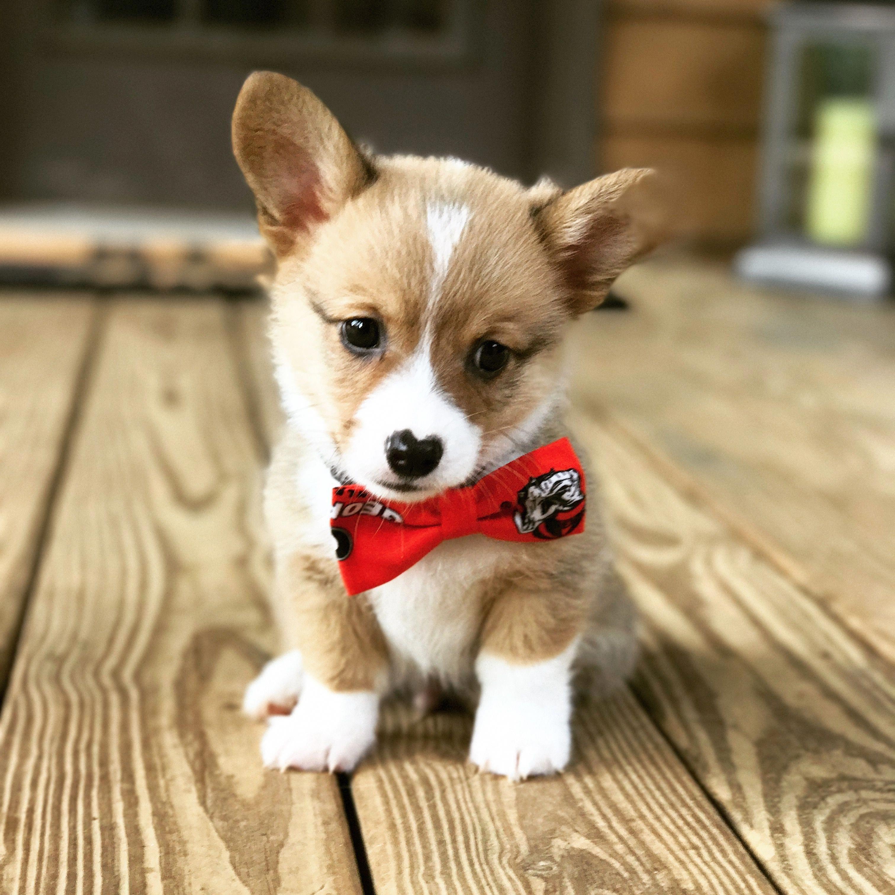 Baby corgi #DogTattooYorkshire | Baby corgi, Corgi dog breed, Corgi