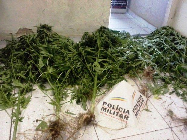 Cazuza: Pés de maconha cultivados em casa são apreendidos ...