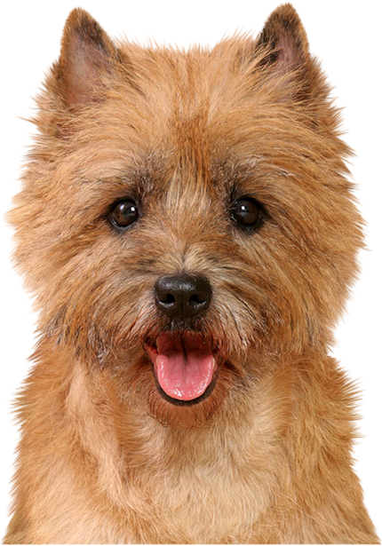 Pin By Nattanant Vacharapan On Norwich Terrier Norwich Terrier Terrier Breeds Terrier