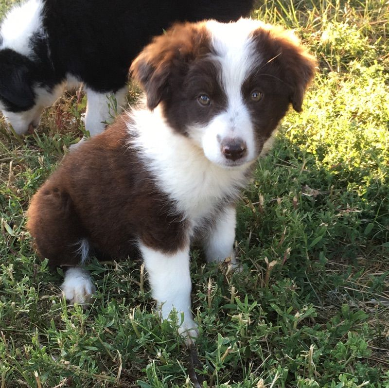 Miniature American Shepherd puppy for sale in FORT MORGAN
