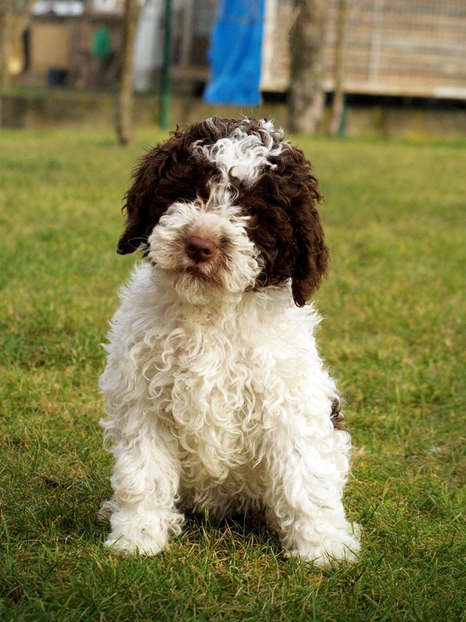 Lagotto Romagnolo Puppies Funny Puppy & Dog Pictures