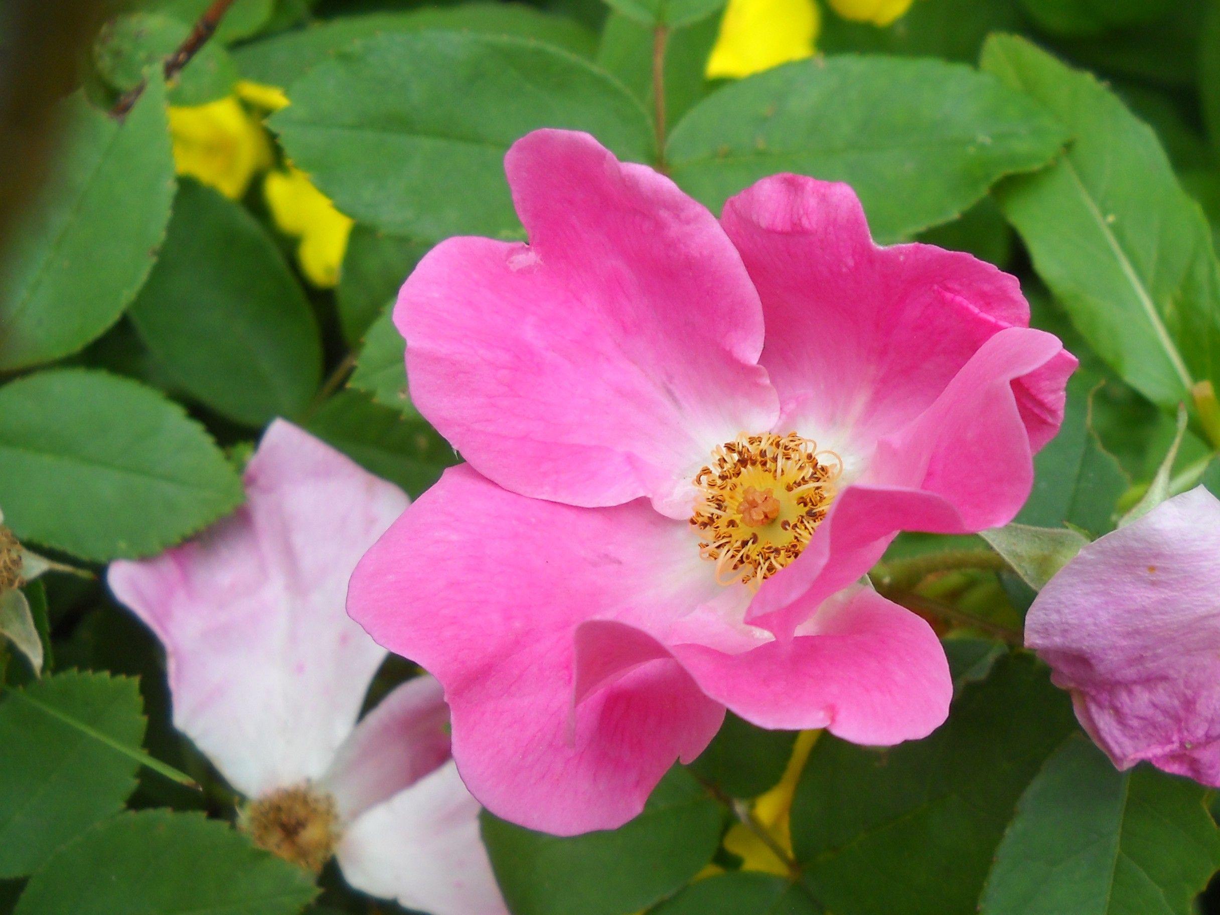 wild rose fr pinterest flowers. Black Bedroom Furniture Sets. Home Design Ideas