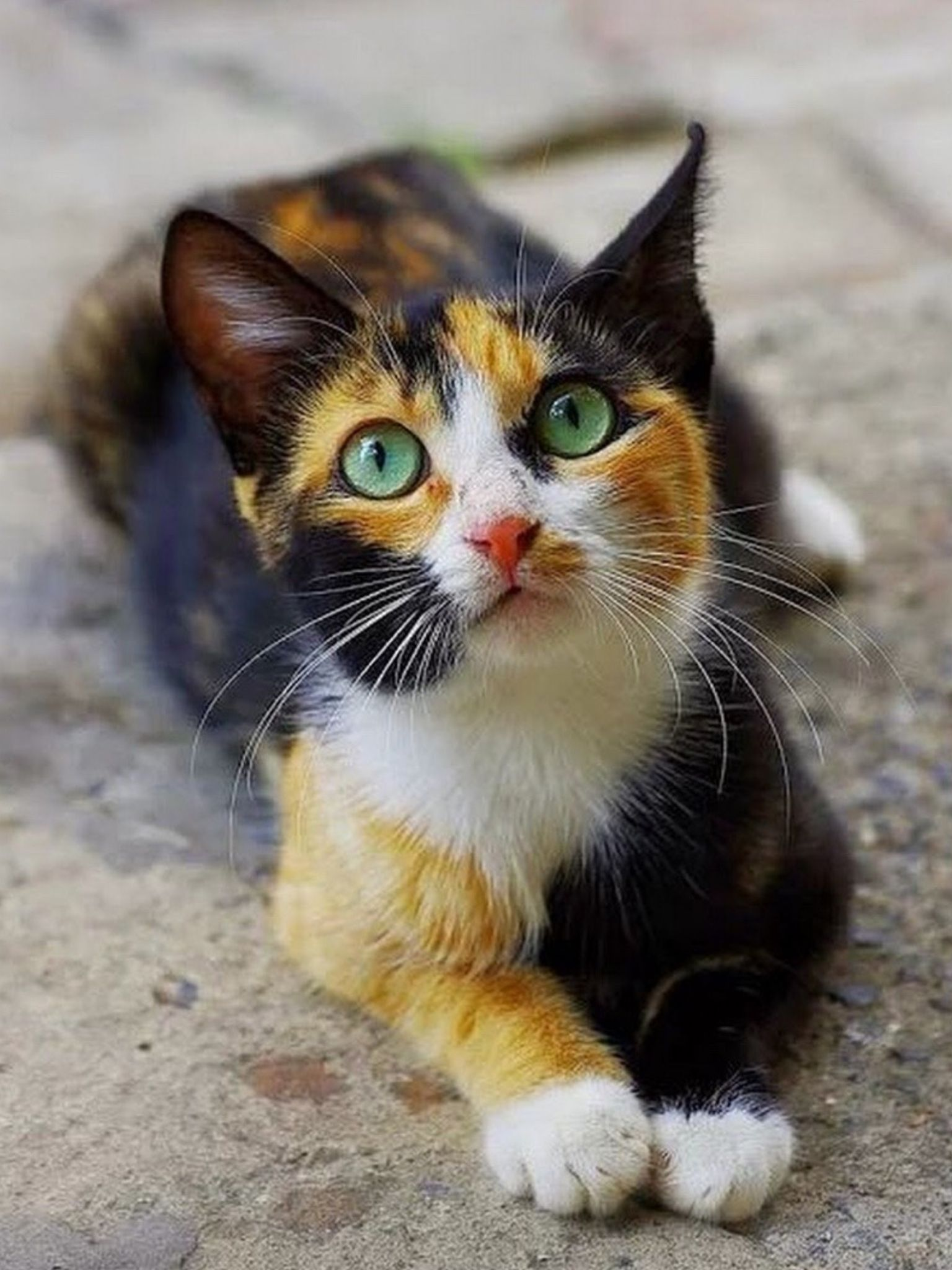 Pin By Pascale Clerie On Cats And Kittens Cute Baby Animals Beautiful Cats Kittens Cutest