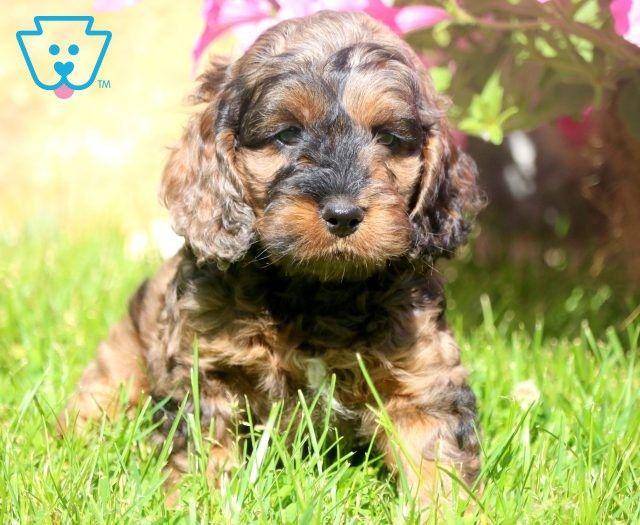 Cockapoo Puppies For Sale Puppy Adoption Keystone