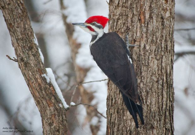 Pileated woodpecker uses its back tail to balance. Photo by National Wildlife Photo Contest entrant Anita Merrigan.