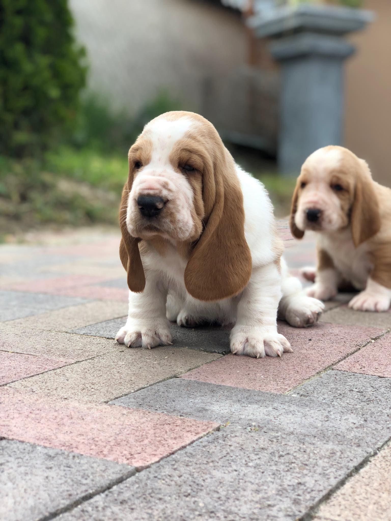 Basset Hound Puppies For Sale Baby Basset Hound Basset Hound