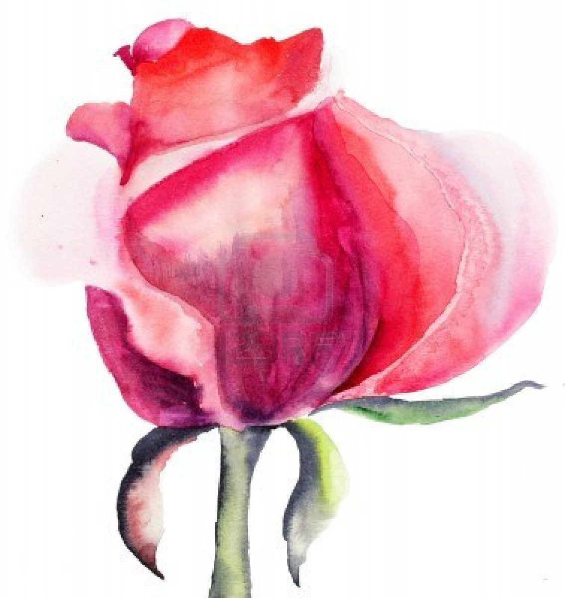 Beautiful rose flower watercolor illustration stock photo for Pretty flower paintings