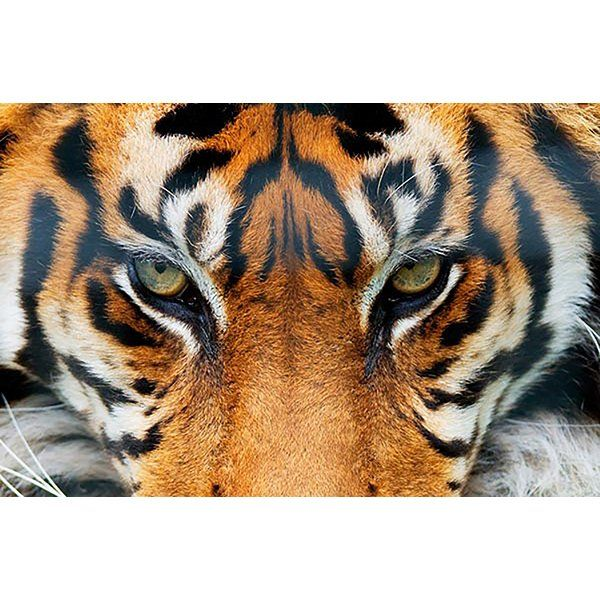 You'll love the Tiger Wall Mural at Wayfair Great Deals