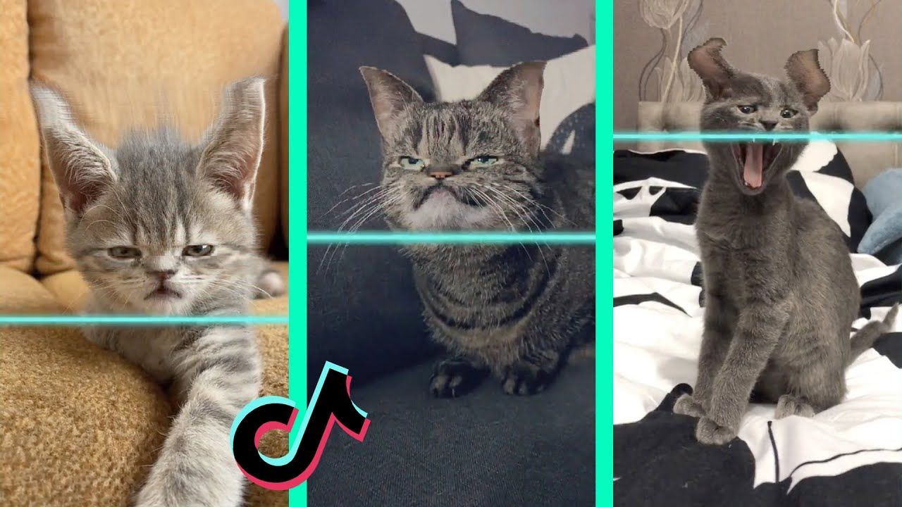 Time Warp Scan Tiktok Cat Compilation Filter Tiktok Youtube Cats Cat Memes Funny Cats
