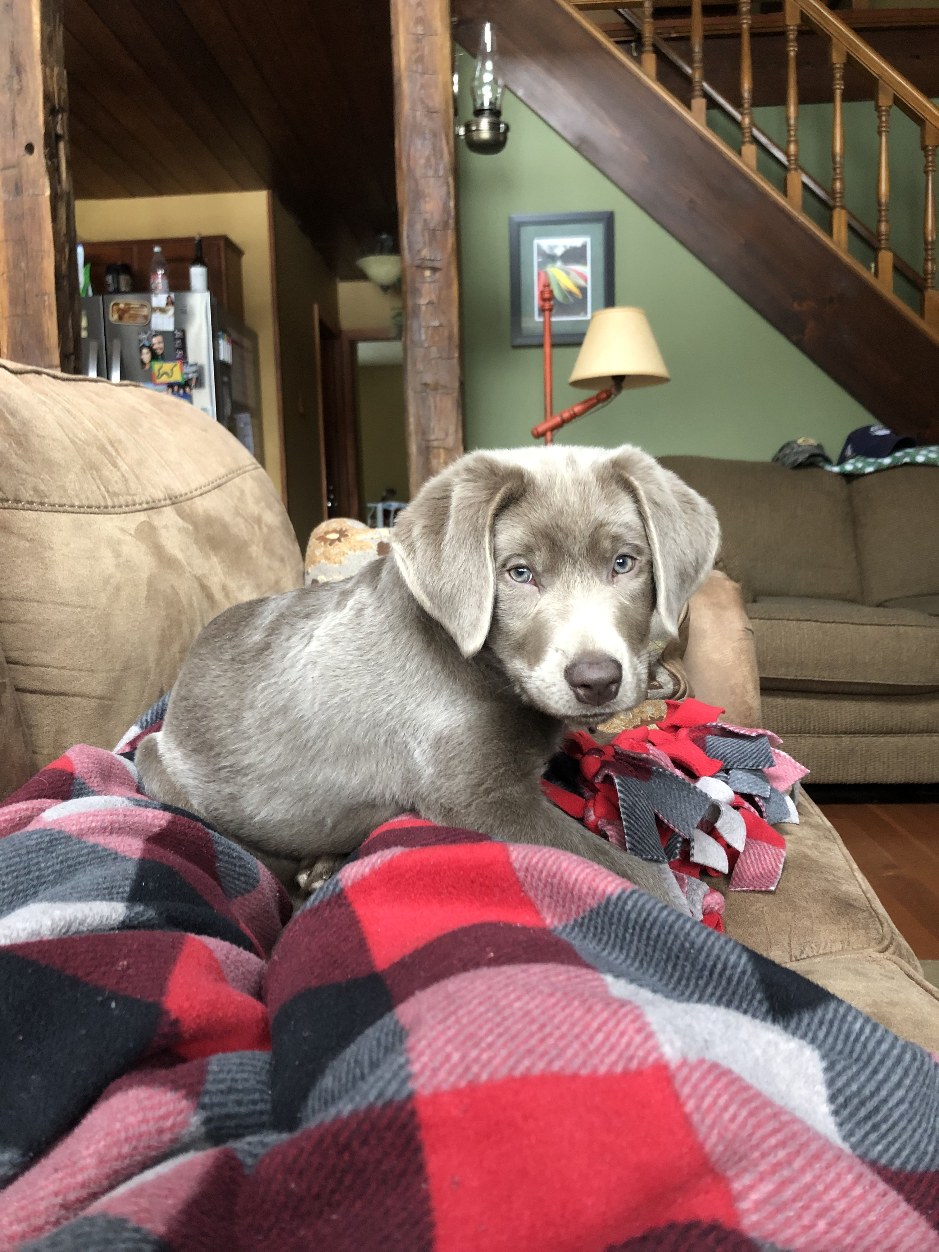 Silver Lab Puppy At 12 Weeks Old Super Cute Dogs Golden Labrador Puppies Silver Lab Puppies