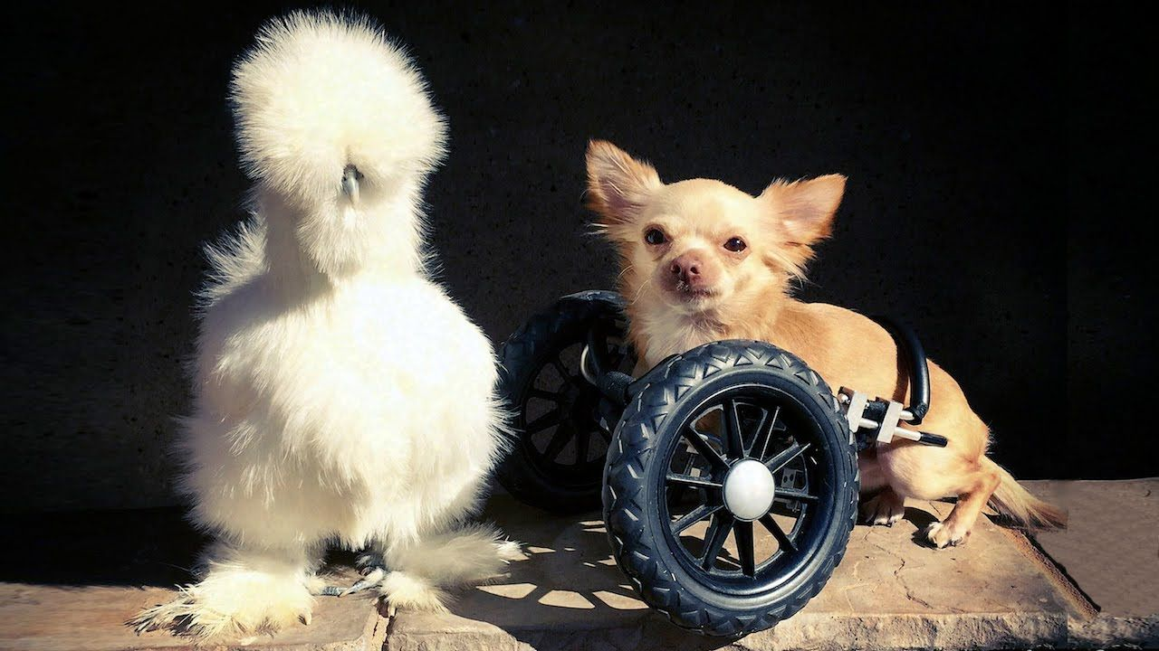 Wheelchair Dog And Silkie En Are The Cutest Friends