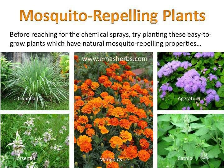 Mosquito Repelling Plants   Repel Mosquitos The Natural Way With  Citronella, Horsemint, Marigolds, Ageratum U0026 Catnip. Via Emau0027s Herbs
