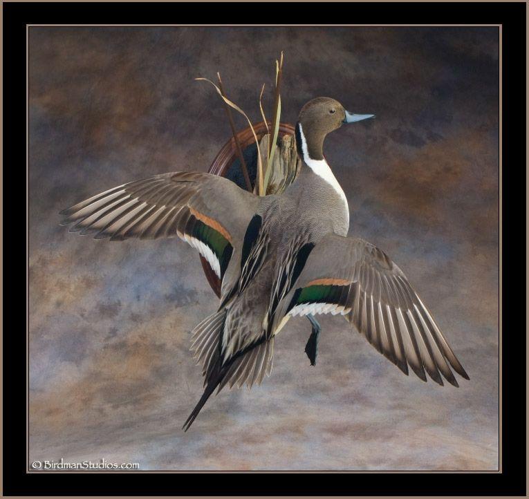 Pintail Mounts   pintail flushing mount   Birds and Geese ...