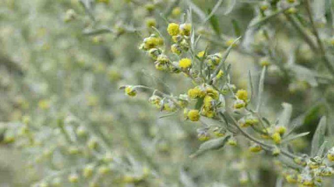 Bylica Piolun Wlasciwosci Lecznicze Zastosowanie Sposob Uzycia Plants Herbs Flora