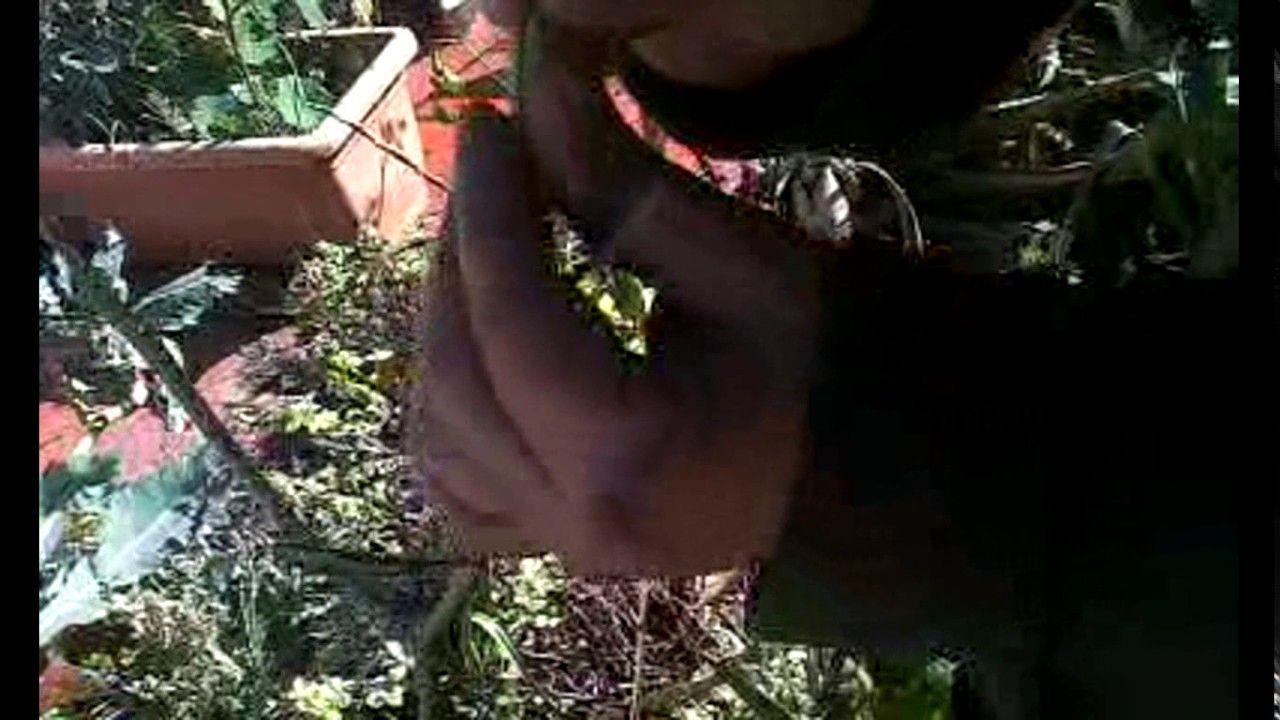 Como Injertar Olivos Injerto De Púa Olivo Bosque De Alimentos Cómo Hacer