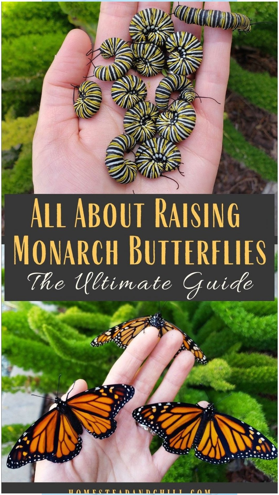 How to Attract, Raise & Release Monarch Butterflies # ...