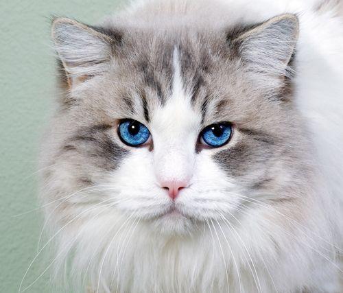Beautiful Cat With Blue Eyes Wallpaper Com Imagens Gatos
