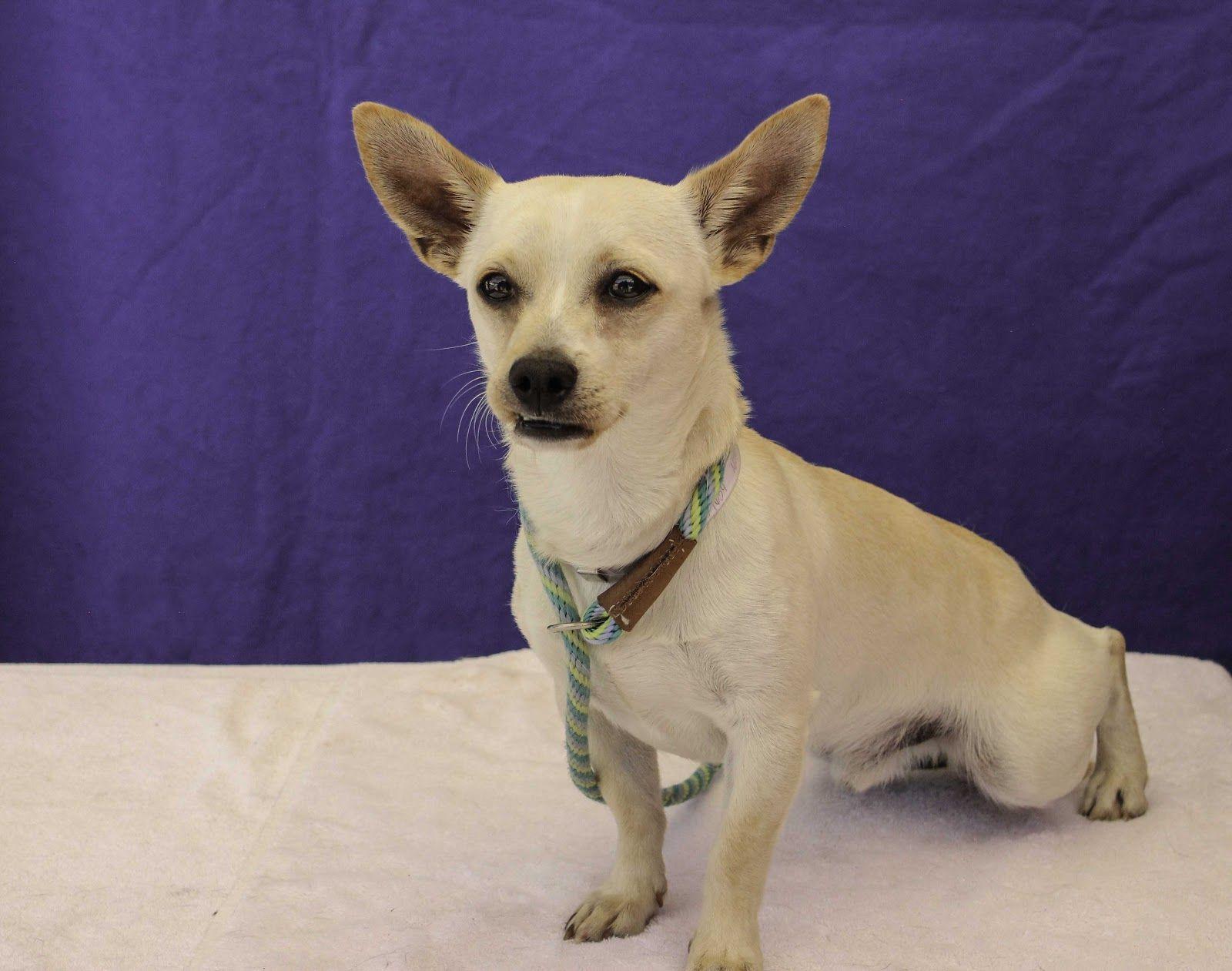 Chiweenie dog for Adoption in Pasadena, CA. ADN605443 on
