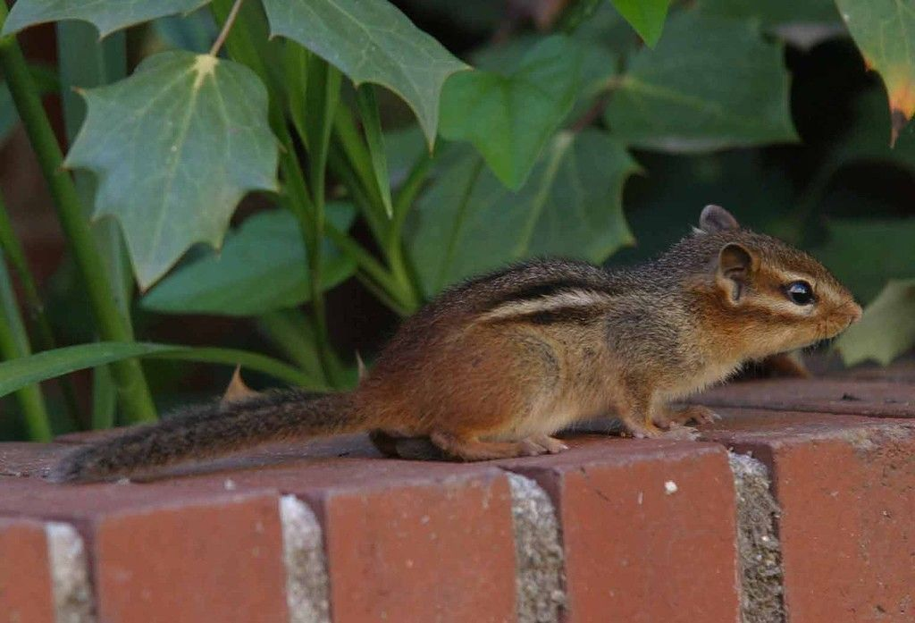 Getting Rid Of Chipmunks Tips For Chipmunk Control In Gardens Chipmunks Squirrel And Knowledge