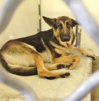 3 Years Old With Full Life Ahead German Shepherd Needs Rescue Out Of Shelter German Shepherd Animals Save Animals