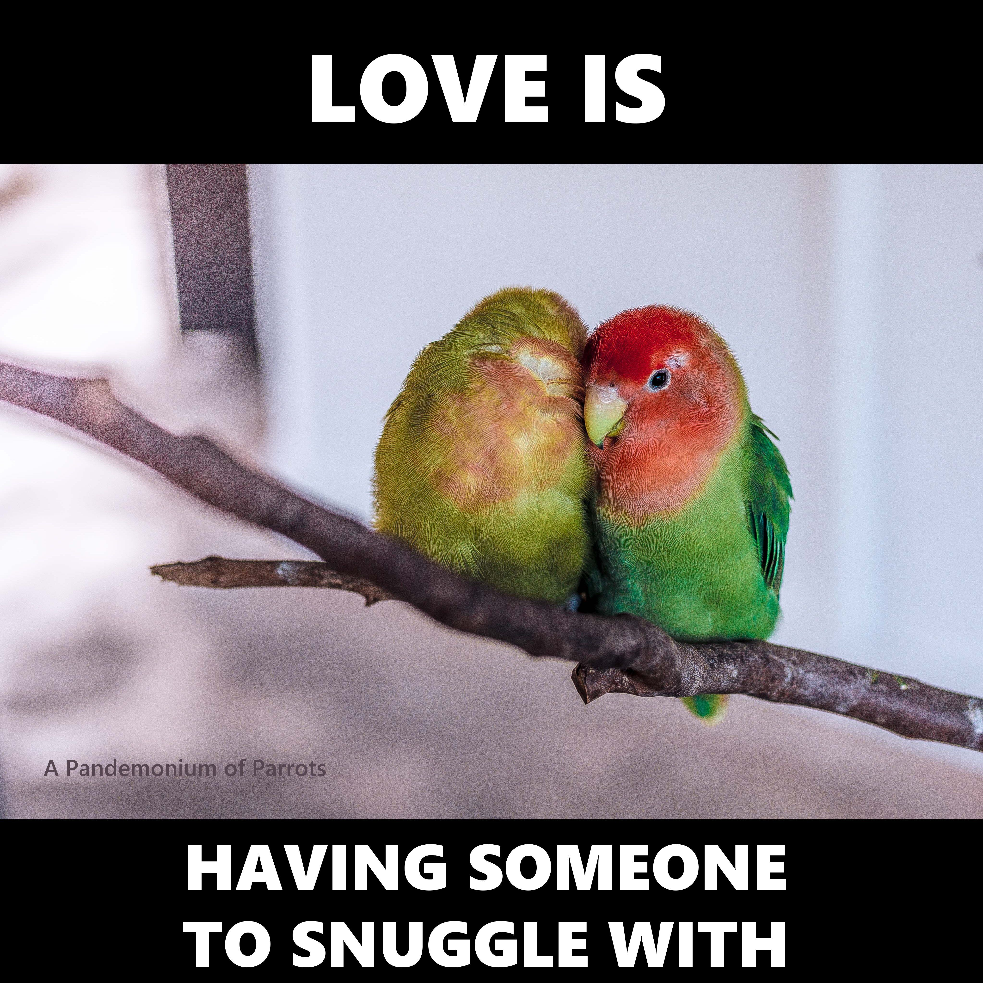Love Bird Quotes Love Is.having Someone To Snuggle Withfunny Parrot Meme