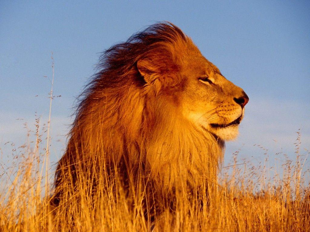 Beautiful lion - Sök på Google