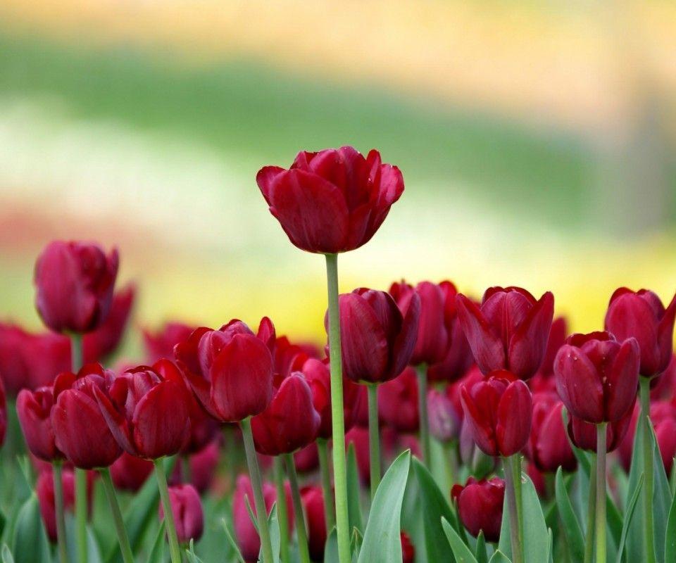 Imagenes Fondos De Pantalla: Tulipanes Para Fondo De Pantalla