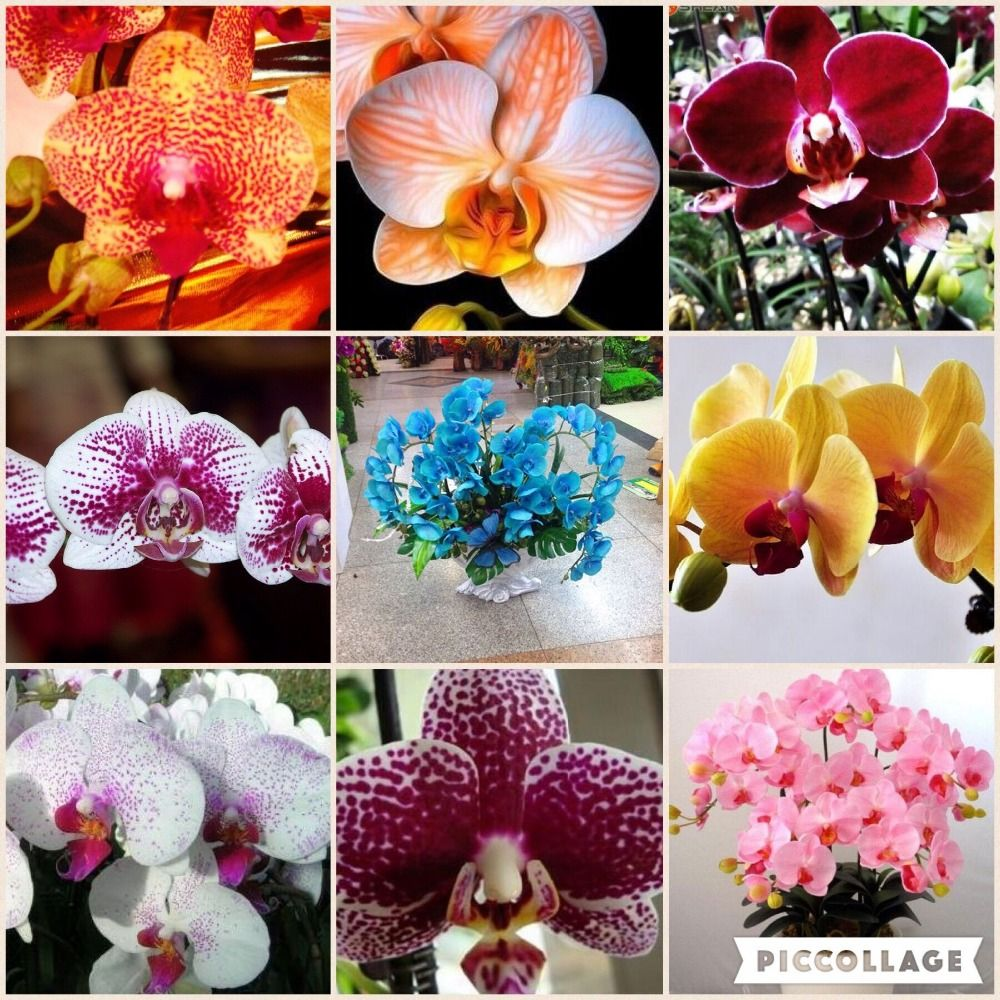 Flower seeds for home garden phalaenopsis orchid seeds buydirect