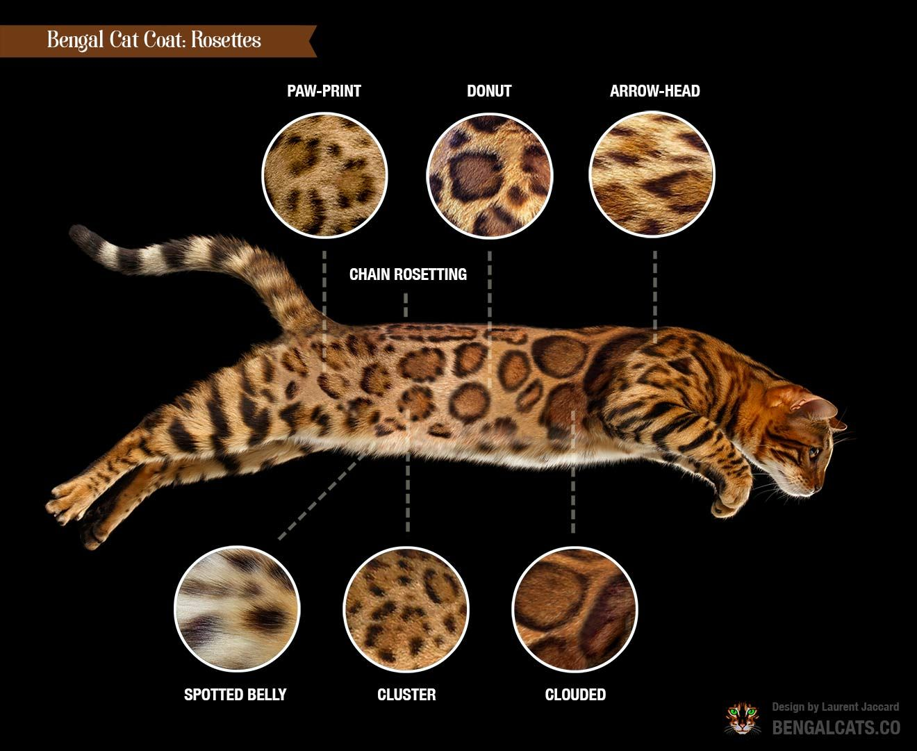 A Visual Guide To Bengal Cat Colors Patterns Bengal Cat Cat