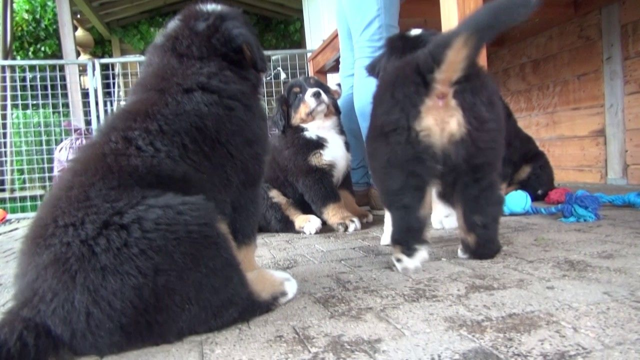 So Cute Big And Small Bernese Mountain Dogshttps Youtu Be Wickliovpow Dog Lovers Bernese Mountain Dog Cute Animals