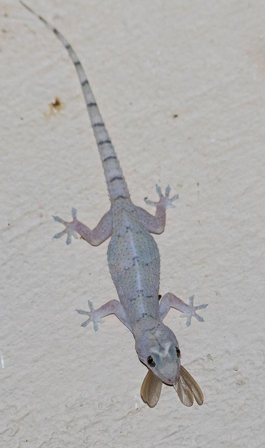 Moreau S Tropical House Gecko South Africa Reptiles And