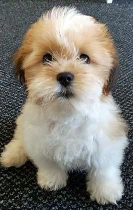 Have You Ever Seen This Breed Of Puppy It S A Malshi That S A
