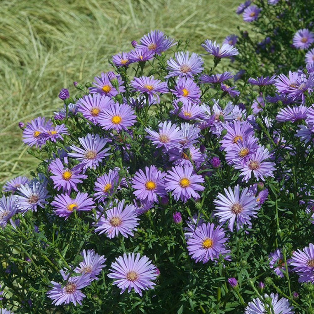 Believer Fall Aster Plant In 2020 Purple Flowers Garden Perennial Garden Purple Flowers