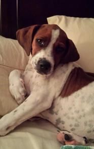 Kenny - English Coonhound