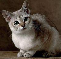 Singapura Cat Breeds Singapura Cat Cats