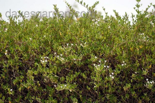 sträucher bilder mit namen cine.-clerodendrum inerme   planting-#shrubs