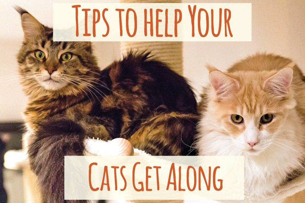 Cats not getting along tips to get them to stop fighting